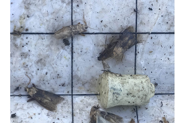 FEROMONA ATRAYENTE PARA HEMBRAS DE EUZOPHERA PINGUIS HAW (ABICHADO)